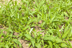 Water spinach Royalty Free Stock Image
