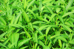 Water spinach grow at field Royalty Free Stock Photo