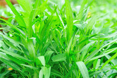Water spinach grow at field Stock Photo