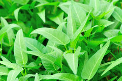 Water spinach grow at field Royalty Free Stock Photos