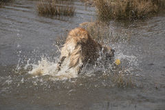Water splash by dog jumping in Royalty Free Stock Image