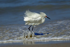 Water splashes on egrets legs. Royalty Free Stock Photo