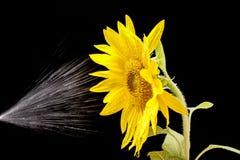 Water sprayed on sunflower. Royalty Free Stock Photos