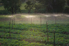 Water springer. At  vegetable farm Stock Photo