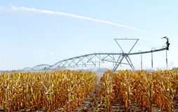 Water sprinkler in the corn field Royalty Free Stock Image