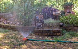 Water sprinkler on a dry patch of lawn royalty free stock photo