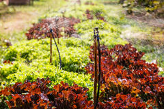 Water sprinkler system working in a salad lettuce garden Royalty Free Stock Photos
