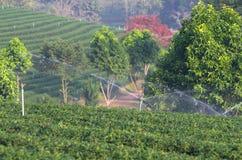 Water sprinkler in tea field Stock Photography