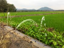Water sprinkling,water Leaking out of pipe. Water Leaking out of pipe in rice growing area Royalty Free Stock Image