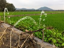 Water sprinkling,water Leaking out of pipe. Water Leaking out of pipe in rice growing area Royalty Free Stock Images