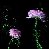 Water-stem Chrysanthemum purple flower Stock Images