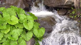 Green plants grow near water stream in mountains. Water stream inside canyon and green platanus leaves. Flowing water in mountains with green plants growing stock video