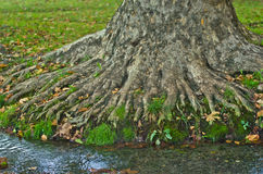 Water stream passing by the roots of a big old tree at morning Stock Photos