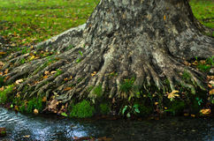 Water stream passing by the roots of a big old tree at morning in Topcider park Royalty Free Stock Photos