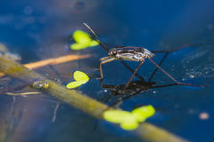Water strider Royalty Free Stock Images
