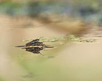 Water Strider during the mating Royalty Free Stock Images