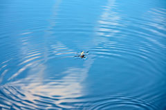 Water strider on water. Ripples in water surface Stock Images