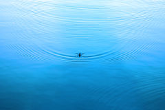 Water strider on water. Ripples in water surface Royalty Free Stock Image