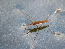 Water striders on water. Reflections in a pond. Summer. Gerris. Village stock photography