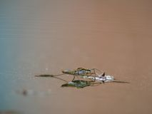 Water striders on water. Reflections in a pond. Summer. Gerris. Village Royalty Free Stock Images