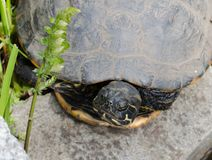 The water turtle having a rest on a stone. The water striped turtle having a rest on a stone Royalty Free Stock Photo