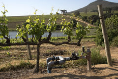 Water supply controls in vineyard Stock Image