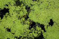 Water surface covered with green duckweed Stock Photos