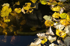 Water surface with golden autumn leaves Royalty Free Stock Images