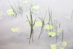 Water surface with lily pads Stock Photography