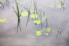 Water surface with lily pads Royalty Free Stock Photos