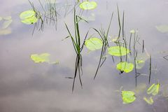Water surface with lily pads Royalty Free Stock Photo