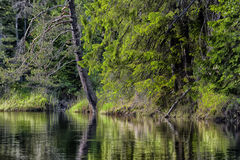 Water surface and pine Royalty Free Stock Photography