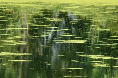 Water surface of a pond with a duckweed. Royalty Free Stock Photography