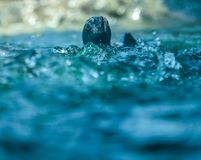 African penguin swimming Royalty Free Stock Photos