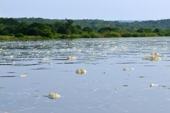 Victoria Nile, Uganda, Africa. The water surface of the Victoria Nile river is covered with foam next to the Murchison waterfall, northern Uganda, Africa Stock Images