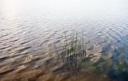 Water surface with visible water plants and reed stems Stock Images