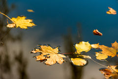 Water surface and yellow fallen leaves Royalty Free Stock Image