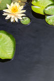 Water Surface with Yellow Water Lily and Green Leaves Royalty Free Stock Photos