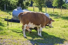 Drinking milk cow at the water tank. Water tank on a cattle pasture in Bavaria with single drinking brown-white dairy cow royalty free stock images
