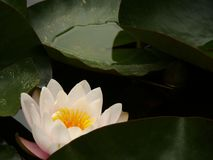 Palermo, Sicily, Italy. Water lily flower in the botanical garde stock photo