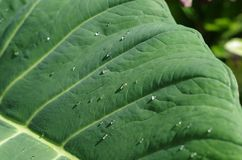The water on the taro leaf stock image