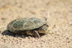 Water Terrapin - Where is your shell ? Stock Images