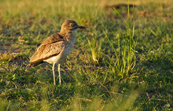 Water thick-knee Stock Photos