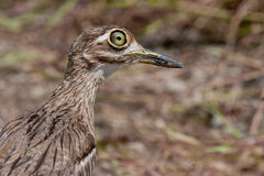 Water Thick-knee. Close up of a Water Thick-knee in Kruger National Park, South Africa Stock Photos