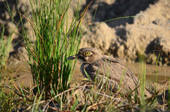 Water thick-knee Royalty Free Stock Photos