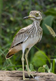 Water thick-knee Stock Photo