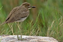 Water thick-knee (Burhinus vermiculatus) Royalty Free Stock Photography
