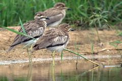 Water thick-knee (Burhinus vermiculatus) Royalty Free Stock Images