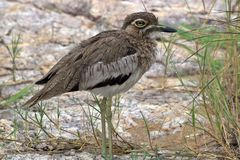 Water thick-knee (Burhinus vermiculatus) Stock Image