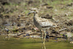 Water thick-knee in Kruger National park, South Africa Stock Photo